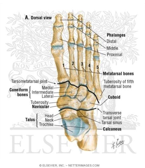 Lis Franc Fractures Lisfranc Injury Danis Ed