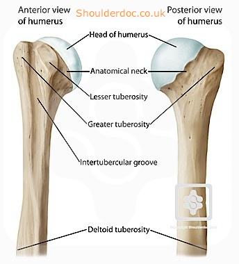 Anatomy, Tubercles, Tuberosities, Trochanters, Condyles, Spines ...