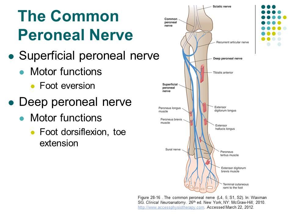 Common Peroneal Nerve – DANI\'s ED